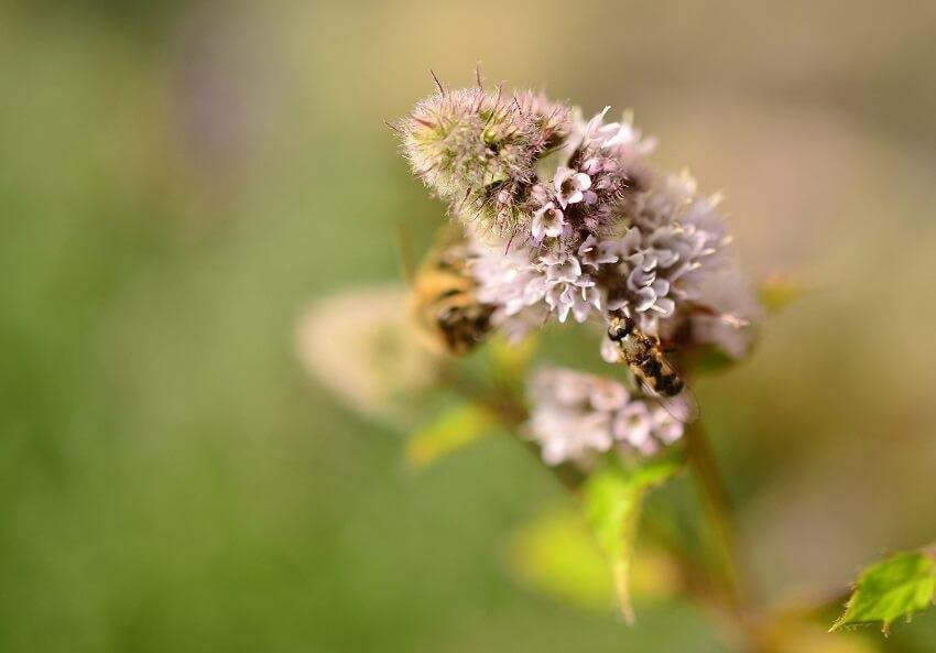 Wildbiene sitze auf einer Pfefferminze