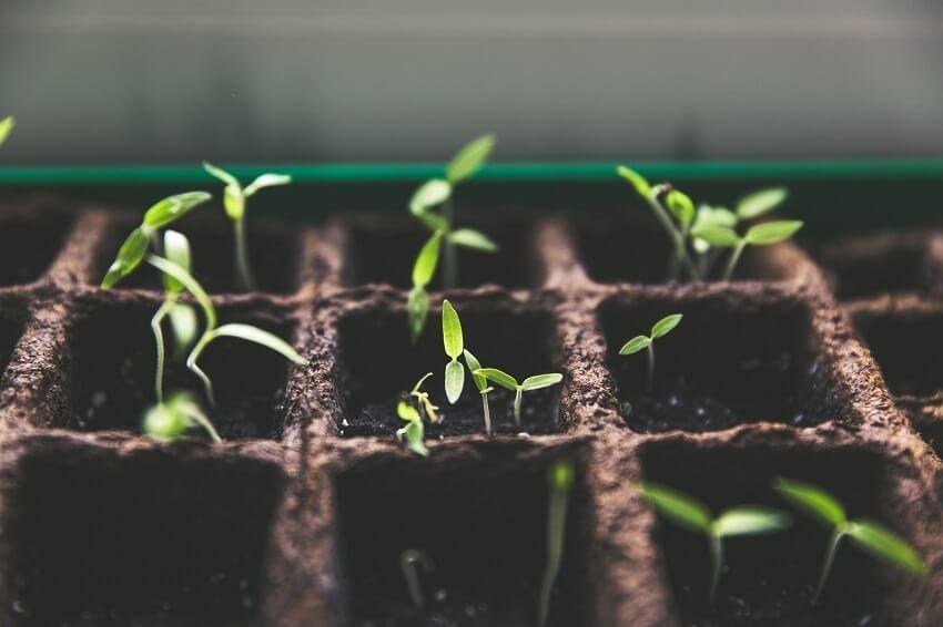 Oregano aus Samen großziehen