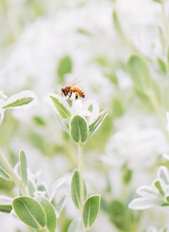 Kräuter als wichtige Nektarquelle für Bienen
