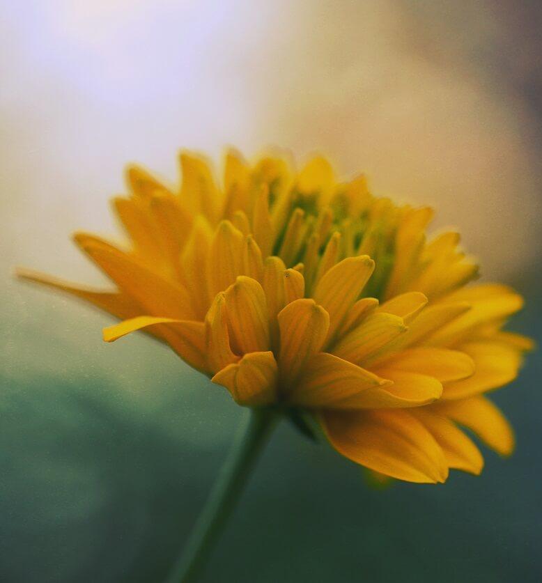 Ringelblume in gelb